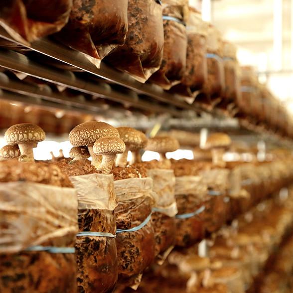 椎茸の栽培方法